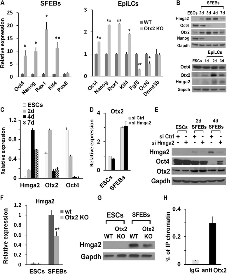 Otx2 controls Hmga2 expression in epiblast-like stem cells (EpiLCs). a Phenotypic analysis of Otx2 knockout (KO) and wildtype (wt) differentiated embryonic stem cells (ESCs). The indicated markers were analyzed by qPCR at 4 days of differentiation as serum-free embryoid bodies (SFEBs) or into EpiLCs. qPCR data represent the means of independent biological replicates (Oct4, n = 4; Nanog, Rex1, and Pax6, n = 3; Klf4, n = 5) ± SEM. * P