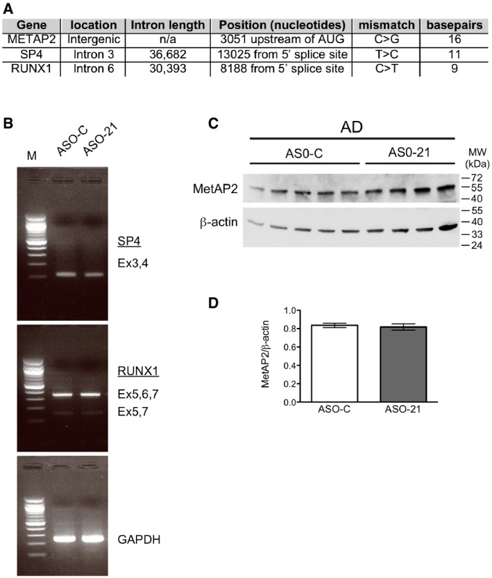 ASO‐21 does not affect splicing or expression of genomic targets with one mismatch ASO‐21 has a single mismatched nucleotide with three other sites in the mouse genome. The genes associated with these potential off‐target binding sites are shown. The location of the site, intronic length, position relative to nearby landmarks, the specific mismatch, and contiguous base pairs in the putative duplex between ASO‐21 and the off‐target site are shown. RT–PCR analysis of RNA isolated from the cortex of AD mice treated with either ASO‐C or ASO‐21, as in Fig 4 . The specific region of the transcript that is predicted to be affected by ASO‐21 binding was amplified, and products were separated on a 2% agarose gel. No aberrant splicing or changes in alternative splicing patterns were observed. Immunoblot analysis of <t>MetAP2</t> protein from the cortex of AD mice treated with either ASO‐C or ASO‐21, as in Fig 4 . ASO‐21 could form a putative duplex upstream of the MetAP2 start codon, potentially affecting expression. Graph depicting the quantitation of MetAP2 protein expression depicted in (C). Bars represent mean ± s.e.m. Source data are available online for this figure.