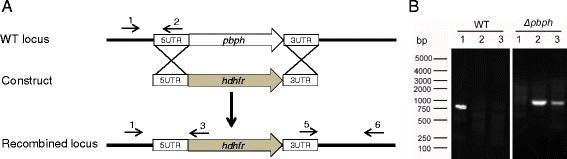 Knockout of pbph gene from P. berghei parasite. a A schematic shows the wild type pbph locus, transfection construct, and the recombined locus. Through a double-crossover strategy the pbph locus was replaced with the dhfr -expressing cassette. Primers 1–6 used to detect gene knockout are marked. b PCR detection of wild-type and Δpbph parasite genomes. Lane 1: primers 1 + 2 (910 bp); Lane 2: primer 1 + 3 (990 bp); and Lane 3: primer 5 + 6 (1, 040 bp)