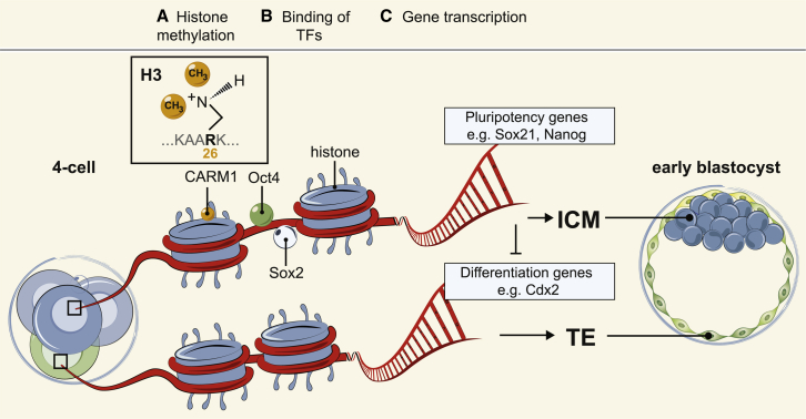 Model of How Cellular Heterogeneities at the 4-Cell Stage Regulate Cell Fate (A–C) In 4-cell embryos, CARM1, which methylates <t>histone</t> H3R26, is differentially expressed ( Torres-Padilla et al., 2007 ). We hypothesize that higher levels of histone H3R26me facilitate the binding to DNA of pluripotency regulators such as Oct4 and Sox2, resulting in increased transcription of pluripotency-related target genes, such as Sox21 , Nanog , and Esrrb , biasing these cells to contribute to the pluripotent lineage. Conversely, in cells with lower levels of histone H3R26me, pluripotency regulators are only able to bind to DNA for shorter periods of time, and therefore their target genes are not as highly expressed. These cells have lower levels of pluripotency and are thus more likely to initiate expression of differentiation genes, such as Cdx2 , and initiate development into the extra-embryonic TE.