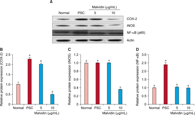 Effect of malvidin on protein expression of inducible nitric oxide (iNOS), COX-2, and NF-κB in WI-38 cells under H 2 O 2 -induced premature senescence. Cells were incubated with malvidin for 48 hours and lysed. Cellular and nuclear proteins were separated by SDS PAGE and transferred onto nitrocellulose membranes, which were probed with anti-NF-κB, anti-COX-2, and anti-iNOS antibodies. (A) Proteins were visualized using an enhanced chemiluminescence detection system. Actin was used as an internal control. Graphs represent relative expression of (B) COX-2, (C) iNOS, and (D) nuclear NF-κB to actin expression. PSC, premature senescence control. a∼d Means with the different letters are significantly different ( P