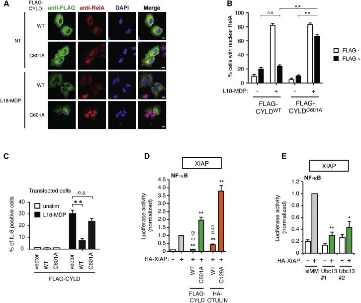 CYLD Catalytic Activity Inhibits the NOD2 Pathway Upstream of Nuclear Translocation of NF-κB (A) Immunofluorescence analysis of nuclear translocation of the NF-κB subunit RelA/p65 (red) in response to L18-MDP (1 μg/ml; 1 hr) in U2OS/NOD2 cells transfected with FLAG-CYLD variants and stained with anti-FLAG (green; scale bar, 10 μm). (B) Quantification of cells with nuclear RelA treated as in (A). (C) Intracellular flow cytometry analysis of IL-8 in U2OS/NOD2 cells transfected with FLAG-CYLD variants in response to L18-MDP (200 ng/ml; 4 hr). Cells were cotransfected with a GFP vector (ratio 1:10) as a marker of transfection. (D) NF-κB activity in HEK293FT cell lysates transfected with dual luciferase reporters, XIAP, CYLD, and OTULIN as indicated. Values are expressed relative to XIAP transfection. (E) NF-κB activity in HEK293T cell lysates transfected with luciferase reporters, vector, or XIAP and depleted for Ubc13 using two different siRNAs. Values are expressed relative to XIAP transfection. Data in (B)–(E) represent the mean ± SEM of at least three independent experiments, each performed in duplicate. ∗∗ p