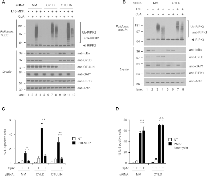 Inhibition of IAPs Reveals Extensive Regulation of RIPK2 Ubiquitination by CYLD and OTULIN (A and B) Purification of endogenous Ub conjugates from U2OS/NOD2 cells depleted for CYLD or OTULIN by siRNA. Cells were pre-treated with DMSO (control) or with 1 μM compound A (CpA) for 30 min before stimulation with (A) L18-MDP (200 ng/ml; 1 hr) or (B) TNF (10 ng/ml; 10 min). (C and D) Intracellular flow cytometry analysis of IL-8 in control (MM) U2OS/NOD2 cells or cells depleted for CYLD or OTULIN by siRNA pre-treated with 1 μM CpA for 30 min before stimulation with (C) L18-MDP (200 ng/ml; 4 hr) or (D) combination of phorbol myristate acetate (PMA) (50 ng/ml) and ionomycin (500 μM) for 4 hr. Data in (C) and (D) represent the mean ± SEM of at least three independent experiments, each performed in duplicate. ∗∗ p