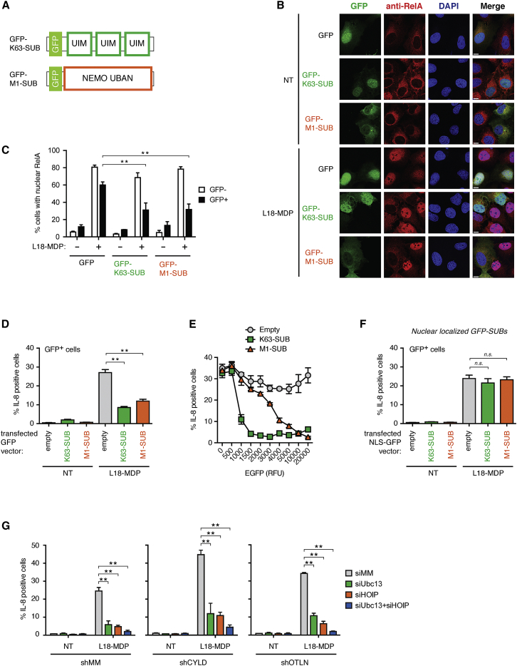 """Lys63-Ub and Met1-Ub Are Individually Indispensable for NOD2 Signaling (A) Schematic representation of the GFP-tagged Ub-binding constructs used for transient expression in cells (GFP-M1-SUB: UBAN domain from NEMO; GFP-K63-SUB: three UIMs from RAP80 in tandem). (B) Immunofluorescence analysis of nuclear translocation of RelA (red) in response to L18-MDP stimulation (1 μg/ml; 1 hr) or no treatment (NT) in U2OS/NOD2 cells transfected with GFP, GFP-K63-SUB, or GFP-M1-SUB (green) for 24 hr. The scale bar represents 10 μm. (C) Quantification of (B). (D) Intracellular flow cytometry analysis of IL-8 in U2OS/NOD2 cells transfected as indicated for 48 hr before L18-MDP stimulation (200 ng/ml; 4 hr). (E) Gating of cells in (D) based on GFP levels (relative fluorescence units [RFUs]). RFU values on x axis indicate the maximal RFU in each gate with the previous value defining the lower limit, except of the """"zero"""" RFU population, which includes cells with values up to 100 RFUs. (F) As in (D) except that GFP, GFP-K63-SUB, or GFP-M1-SUB contains a nuclear localization signal (NLS). (G) Intracellular flow cytometry analysis of IL-8 in control (MM) U2OS/NOD2 cells or cells stably depleted for CYLD or OTULIN; depleted for HOIP, Ubc13, or both by siRNA as indicated; and treated with L18-MDP (200 ng/ml; 4 hr) or not treated (NT). Data in (C)–(G) represent the mean ± SEM of at least three independent experiments, each performed in duplicate. ∗∗ p"""