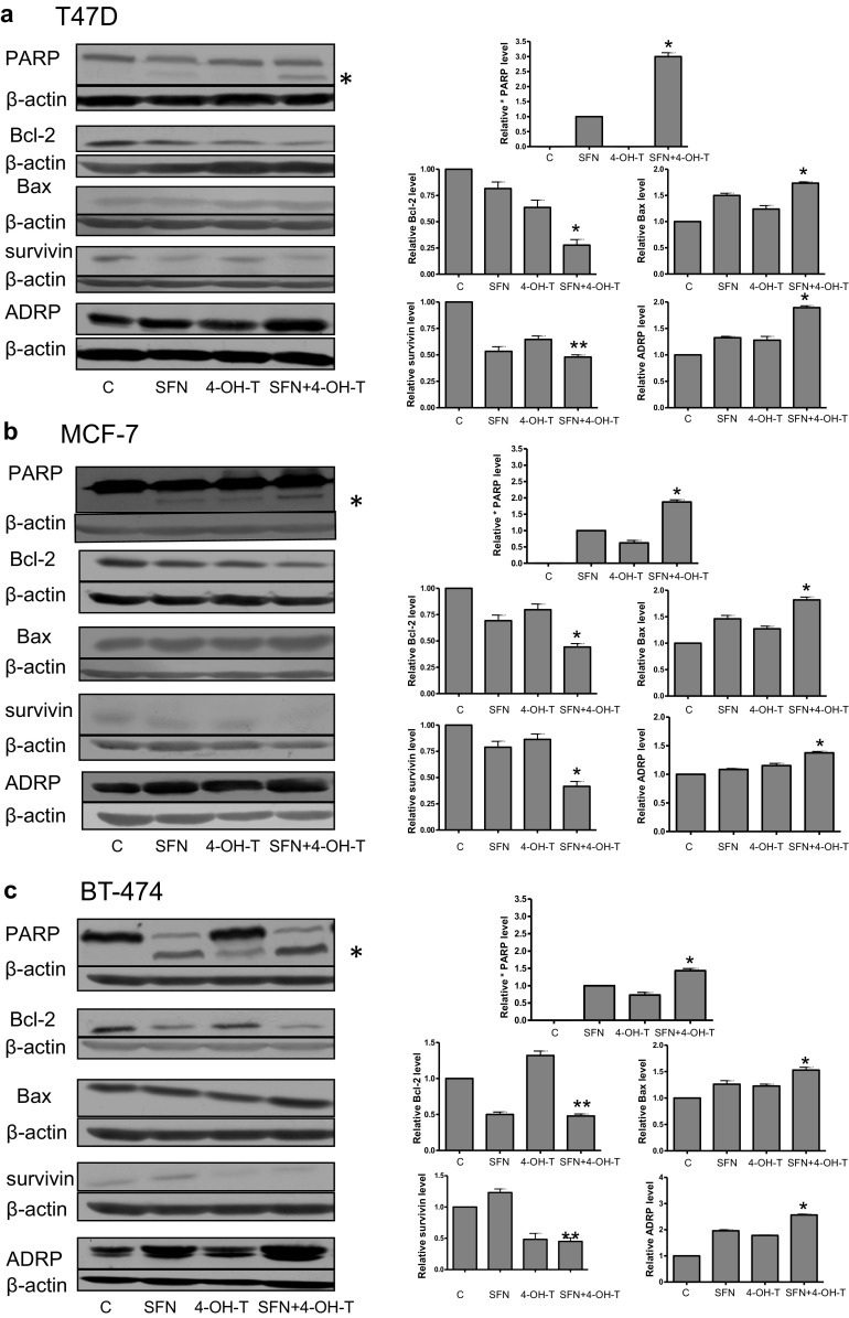 Effect of co-treatment of breast cancer cell lines with 4-hydroxytamoxifen and sulforaphane on PARP cleavage and levels of Bcl-2, Bax, survivin and ADRP. T47D ( a ) and MCF-7 ( b ) cells were treated with 5 μM sulforaphane (SFN), and/or 0.5 μM 4-hydroxytamoxifen (4-OH-T). BT-474 ( c ) cells were treated with 5 μM sulforaphane (SFN) and/or 1 μM 4-hydroxytamoxifen (4-OH-T). Blots were stripped and reprobed with anti-β-actin antibody to ensure equal protein loading. Results are plotted as mean ± SE from three independent experiments, *significantly different compared with single agent-treated samples or **significantly different compared with one of the single agent-treated samples by one-way ANOVA followed by Bonferroni's multiple comparison test. Data for PARP refer to the faster migrating band marked as * and are given relative to samples treated with SFN alone. Blots shown are representative of at least three independent experiments