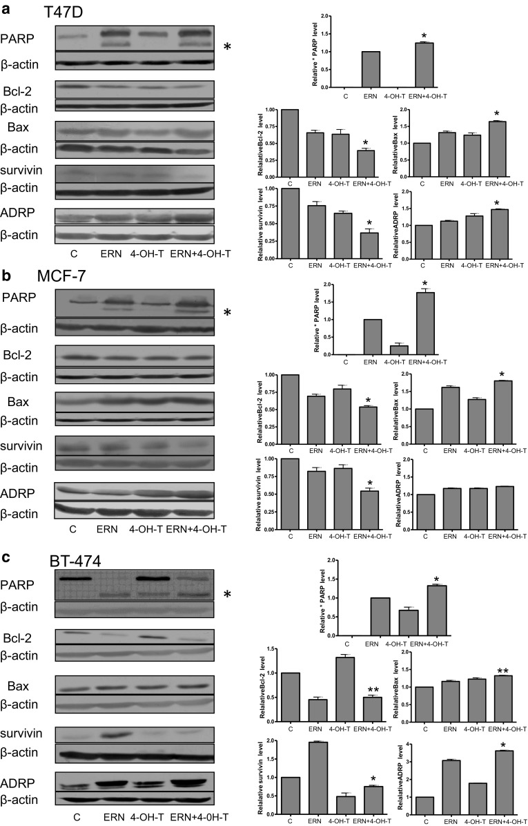 Effect of co-treatment of breast cancer cell lines with 4-hydroxytamoxifen and erucin on PARP cleavage, levels of Bcl-2, Bax, survivin and ADRP. T47D ( a ) and MCF-7 ( b ) cells were treated with 5 μM erucin (ERN) and/or 0.5 μM 4-hydroxytamoxifen (4-OH-T). BT-474 ( c ) cells were treated with 5 μM erucin (ERN) and/or 1 μM 4-hydroxytamoxifen (4-OH-T). Blots were stripped and reprobed with anti-β-actin antibody to ensure equal protein loading. Results are plotted as mean ± SE from 3 independent experiments, *significantly different compared with single agent-treated samples or **significantly different compared with one of the single agent-treated samples by one-way ANOVA followed by Bonferroni's multiple comparison test. Data for PARP refer to the faster migrating band marked as * and are given relative to samples treated with ERN alone. Blots shown are representative of at least three independent experiments