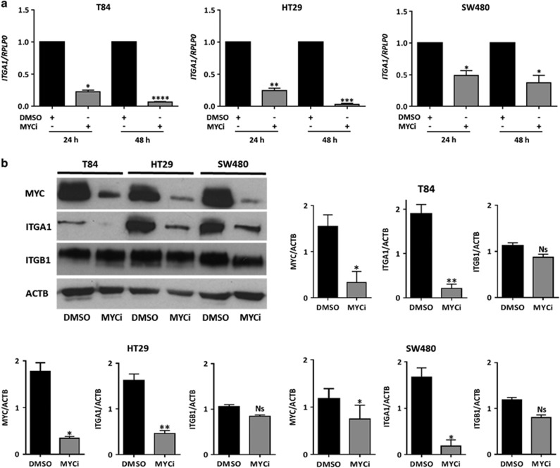 MYC inhibition downregulates ITGA1 expression at the mRNA and protein levels in colorectal cancer cells. ( a ) T84, HT29 and SW480 cells were treated with the MYC inhibitor 10058-F4 used at 50 μ M in dimethyl sulfoxide (DMSO; MYCi) or with DMSO alone for the indicated times. Real-time quantitative PC R (qPCR) levels are indicated as fold changes of ITGA1 relative to the control and normalized to RPLP0 used as housekeeping gene. ( b ) Representative western blot and densitometric analyses of MYC and ITGA1 expression after treatment of T84, HT29 and SW480 cells with MYCi as in ( a ). <t>β-Actin</t> (ACTB) was used as loading control. All experiments were performed in triplicate and repeated three times. * P
