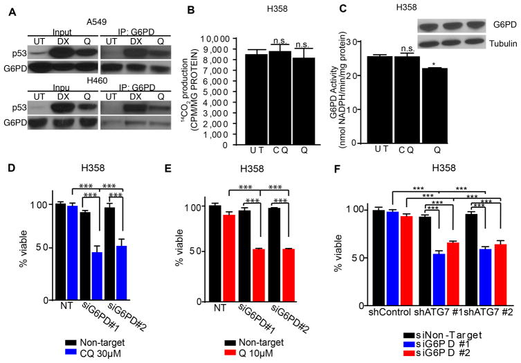Simultaneous genetic targeting of autophagy and the oxPPP is sufficient to trigger apoptosis in p53 null lung cancer cells (A) p53 is induced upon 10 μM Q treatment in A549 and H460 cells and co-immunoprecipitates with G6PD. DX=1μM doxorubicin (positive control). (B, C) Oxidative PPP activity ( B , 14 CO 2 production from 1- 14 C-glucose) and G6PD activity ( C ) following treatment with CQ or Q. (D) CQ promotes cell death upon G6PD knockdown in H358 cells. (E) Q promotes cell death upon G6PD knockdown in H358 cells. (F) Combined RNAi-mediated knockdown of ATG7 and G6PD is sufficient to induce cell death in H358 cells. All data represent the mean ± SEM from 3 independent experiments. Statistical significance was calculated using ANOVA followed by Tukey's HSD. *P≤0.05, **P≤0.01, ***P≤0.001.