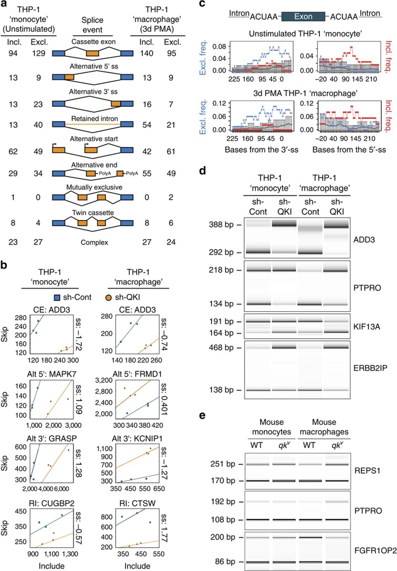 QKI expression levels influence pre-mRNA splicing during THP-1-based monocyte-like to macrophage-like cell differentiation. ( a ) Schematic depicting detectable alternative splicing events with the splicing-sensitive microarray platform and number of inclusion (incl.; top lines) or exclusion (excl.; bottom lines) events observed in unstimulated THP-1 'monocytes' (left) and 3-day PMA-stimulated THP-1 'macrophages' ( n =3, q ≤0.05). ( b ) Scatterplots of skip ( y axis) and include ( x axis) probe set intensity for selected alternative splicing events in sh-Cont (blue boxes) versus sh-QKI (orange circles) in unstimulated and 3 days PMA-stimulated THP-1 'monocytes' and 'macrophages', respectively. Regression coefficients (constrained to pass the origin) are depicted as solid lines. The log 2 difference in the slopes (termed separation score; ss) are provided to the right of the plots for each event, with for example, an ss of −1.72, indicating a 3.3-fold more inclusion of ADD3 exon 13 in sh-QKI versus sh-Cont THP-1 'monocytes'. Full event details are provided in Supplementary Data 6 . CE, cassette exon; Alt 5′ or 3′, alternative 5′ or 3′ splice site; RI, retained intron. ( c ) SpliceTrap assessment of average proximal ACUAA RNA motif enrichment in 50 bp windows upstream and downstream of alternatively spliced cassette exons as compared with a background set of exons (grey circles). The relationship between the frequency of exon exclusion (blue triangles) or exon inclusion (red squares) and ACUAA RNA motif enrichment are depicted. ( d ) PCR validation of alternatively spliced cassette exons in sh-Cont and sh-QKI THP-1 'monocytes' and 'macrophages'. Primers were designed to target constitutive flanking exons. PCR product size for exon inclusion (top) and exclusion (bottom) variants are provided (left). All experiments depict biological n =3. ( e ) PCR validation of three splicing events in wt and qk v mouse-derived primary monocytes and 7 days M-CSF-stimulated macrophages