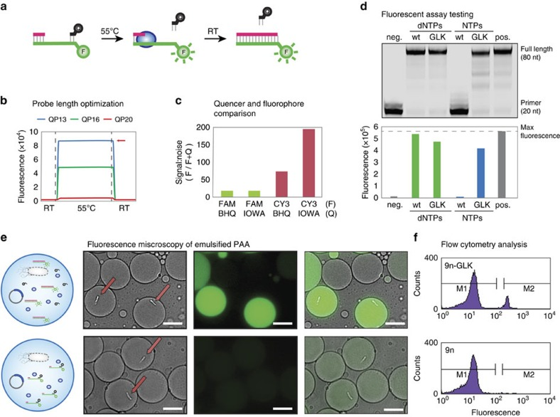 Droplet-based optical polymerase sorting. ( a ) We have developed a fluorescent reporter system that produces an optical signal when a primer–template complex is extended to full-length product. The reporter consists of a primer–template complex (pink and green) containing a downstream fluorophore that is quenched when a DNA-quencher (black) anneals to the unextended region. ( b ) The assay was designed with a metastable probe to allow dissociation at elevated temperatures, where thermophilic polymerases function with optimal activity. Red arrow marks the maximium fluorescence observed in the absence of the quencher probe. ( c ) Flourophore (F)/quencher (Q) pairs were screened to identify a dye pair with the maximum signal-to-noise ratio. ( d ) Primer-extension analysis by denaturing PAGE (top) and fluorescence (bottom) for 9n and 9n-GLK polymerases using dNTP and NTP substrates. Negative control: no <t>NTPs.</t> Positive control: <t>dNTPs</t> or no DNA-quencher probe. ( e ) Single-emulsion droplets containing a functional 9n-GLK polymerase that extends a primer–template complex with RNA (top) and non-functional (bottom) wild-type 9n polymerase. The panel shows a cartoon depiction of the droplet, a bright-field micrograph of encapsulated E. coli (arrow), a fluorescence micrograph of the same field of view and an overlay of the two images. Scale bars, 10 μm. ( f ) Flow cytometry analysis of 9n and 9n-GLK polymerases following NTP extension in water-in-oil-in-water (w/o/w) droplets.