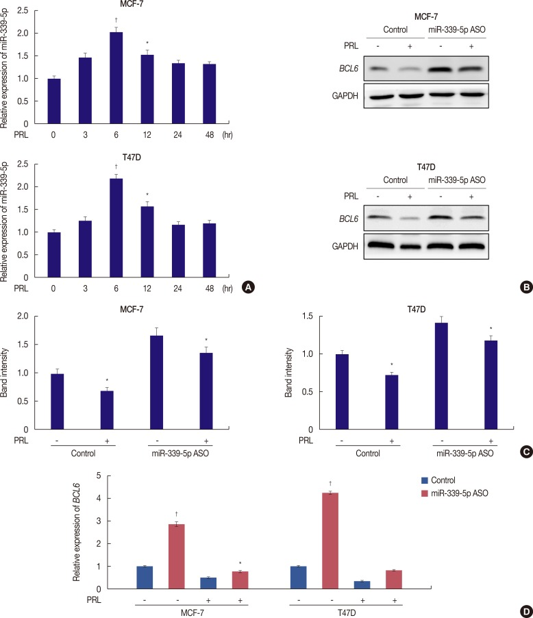 PRL inhibits BCL6 expression via miR-339-5p pathways. (A) qRT-PCR analysis of miR-339-5p mRNA in MCF-7 and T47D cells treated with or without PRL for up to 48 hours. (B) MCF-7 and T47D cells were grown and transiently transfected with miR-339-5p ASO or scrambled sequence oligonucleotides as negative control and subjected to western blot assays. Forty-eight hours later, cells were treated with or without PRL for 6 hours. (C) Corresponding densitometry data of BCL6 normalized to <t>GAPDH</t> loading controls. (D) qRT-PCR analysis of BCL6 was performed in MCF-7 and T47D cells, respectively. PRL=prolactin; BCL6 =B-cell lymphoma 6; <t>GAPDH=glyceraldehyde-3-phosphate</t> dehydrogenase; qRT-PCR=quantitative reverse transcription-polymerase chain reaction; ASO=antisense oligonucleotide. * p