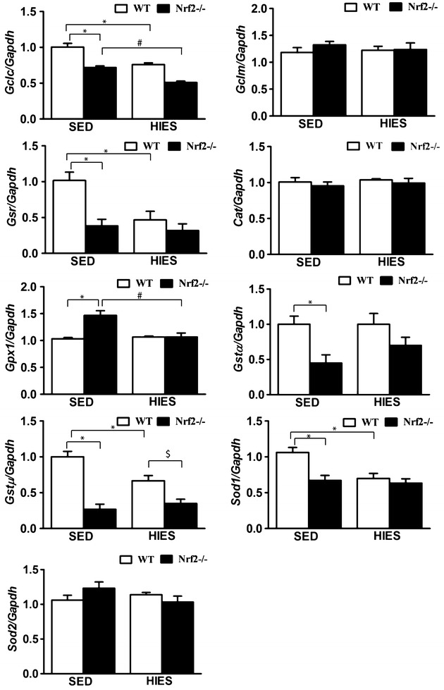 Deregulation of antioxidant genes expression in the atria of WT and Nrf2 −/− mice in response to HIES. Quantitative RT-PCR determination of RNA message for Nrf2/ARE-regulated antioxidant genes in the atria of SED and HIES (WT and Nrf2 −/− , n = 4–6/group) mice. The respective Ct values were normalized to the Gapdh expression and the relative differences in target gene level were determined using the arithmetic formula 2 −ΔΔCt . The results are presented as mean ± SEM of WT-sedentary. *P