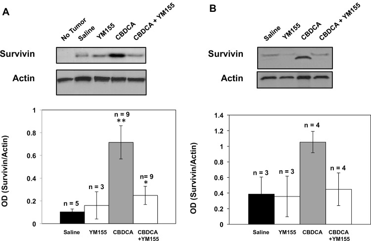 Survivin expression profiles in Y79-Luc (A) and CHLA-215-Luc (B) tumors growing in the vitreal cavity of mice. Mice were treated with carboplatin (CBDCA, 60 mg/kg) via IP injection on days 15 and 18 following transplantation, YM155 alone (2mg/kg) administered via IP injection for 5 consecutive days starting 14 days post transplantation, or the combination of CBDCA and YM155. Eyes were enucleated 24 hours following the last treatment, homogenized with a polytron in <t>1X</t> cell lysis buffer, and analyzed for survivin expression by Western immunoblot and densitometry. Upper figure shows a representative Western immunoblot and lower figure provides quantitative densitometric values from all immunoblots. Columns , mean; bars , ± SE of three to nine separate intraocular lesions. ** P