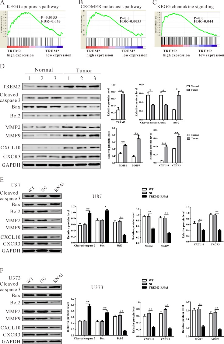 Mechanisms of TREM2 exert their functions in glioma cells Enrichment plots of gene expression signatures for KEGG apoptosis A. , Cromer invasion B. and KEGG chemokine pathways C. according to TREM2 expression levels. D. , E. , F. Protein levels of apoptosis-related factors (cleaved caspase 3 and Bad), anti-apoptosis (Bcl2), invasion (MMP2 and MMP9) and chemokine pathway related factors (CXCL10 and CXCR3) in glioma and normal tissues, and glioma cell lines (U87 and U373 cells) were detected by western blot. GAPDH was also detected as the control of sample loading. Representative western blots (left panel) and quantitative results were shown (right panel). Data were based on at least three independent experiments, and shown as the mean ± SD (* P
