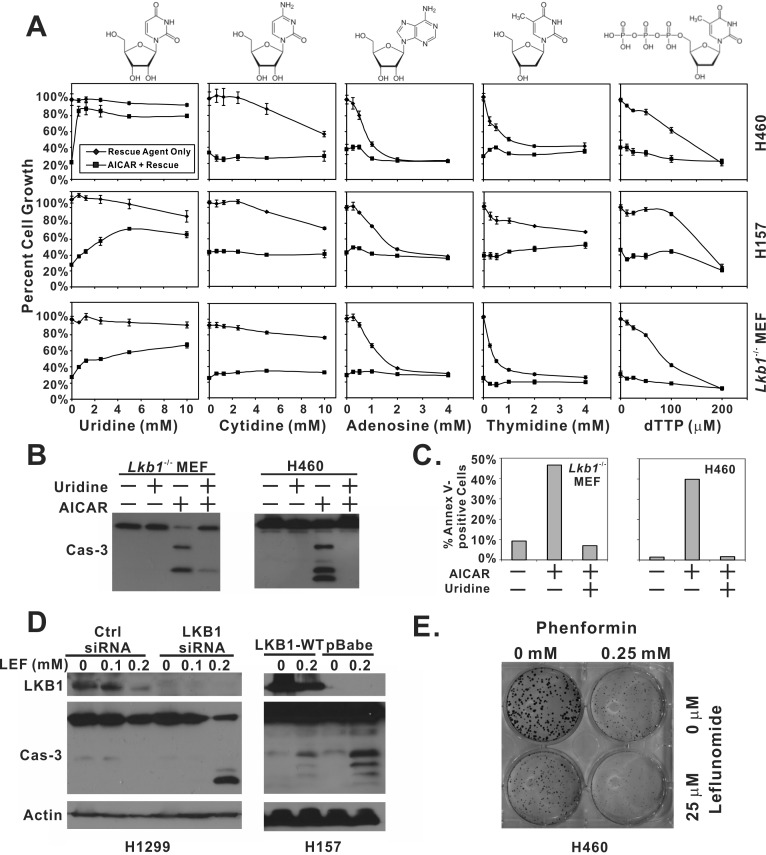 Depletion of uridine is responsible for AICAR-induced apoptosis in LKB1-null cells A. H460, H157 and Lkb1 −/− MEF cells were seeded in 96-well plates, and treated with the indicated concentration of uridine, cytidine, adenosine, thymidine, dTTP alone, or their respective combination with 1 mM AICAR. Plates were subjected to SRB assay 48 hrs after treatment. Reactions were carried out in quadruplicates, and the error bars represent one standard deviation. B. Lkb1 −/− MEF and H460 cells were seeded in 6-well plates and treated with 1 mM AICAR alone, 5 mM uridine alone or their combination. Lysates were collected 24 hrs after treatment for immunoblot analysis of total caspase-3. C. For Annexin-V and 7AAD analysis of apoptosis, Lkb1 −/− MEF and H460 cells were seeded in 6-well plates, and treated with 1 mM AICAR alone, 5 mM uridine alone, or their combination. Both floating and attached cells were collected 24 hrs after treatment and subjected to flow analysis. Percentage of Annexin-V positive cells was reported. D. Isogenic H157-pBabe and H157-LKB1-WT cells were treated with 0.2 mM of leflunomide for 48 hrs. Cell lysates were collected and analyzed by immunoblot with indicated antibodies. LKB1 was depleted in H1299 cells by siRNA and treated with 0, 0.1, or 0.2 mM of leflunomide for 48 hrs. Cell lysates were collected for immunblot of LKB1 and total caspase-3. E. H460 cells were treated with 0.25 mM phenformin, 25 μM leflunomide, or their combination for 10 days in a colony formation assay.