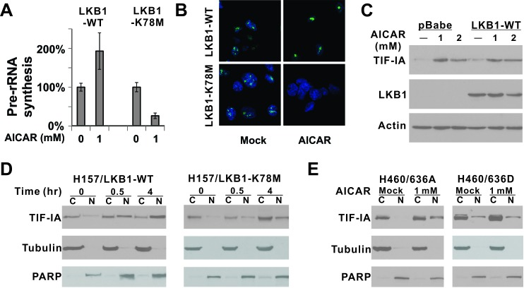 LKB1 kinase activity is required for the nuclear accumulation of TIF-IA after AICAR treatment A. Pre-rRNA synthesis was evaluated in H157-LKB1-WT or H157-LKB1-K78M cells by quantitative real-time PCR. K78M: Kinase-dead mutant. B. Pre-rRNA synthesis was evaluated by 5-fluorouridine incorporation. C. Alteration in endogenous TIF-IA protein level after 1 or 2 mM AICAR treatment for 24 hrs was evaluated by immunoblot in isogenic cells. D. Time course analysis of TIF-IA cellular localization after 1 mM AICAR treatment in H157 isogenic cells. E. Nuclear localization of ectopically-expressed 636A and 636D TIF-IA mutant in isogenic H460 cells after 1 mM AICAR treatment for 24 hrs was evaluated by immunoblot analysis. C: Cytoplasmic fraction; N: Nuclear fraction.