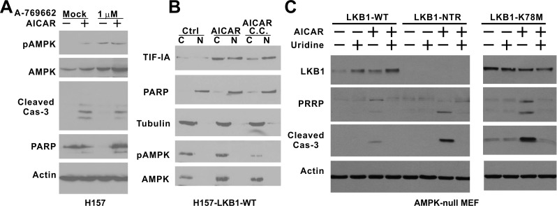 The kinase activity of LKB1 is required to rescue AMPK-null MEF cells from AICAR-induced apoptosis A. H157 cells were treated with 1 mM AICAR, 1 μM A-769662 or their combination for 24 hrs. B. H157-LKB1-WT cells were pre-treated with 10 μM compound C followed by 1 mM AICAR treatment for 4 hrs. Nuclear (N) and cytosolic (C) fractions were analyzed by immunoblot with indicated antibodies. C. AMPK-null MEF cells were infected with retrovirus containing the indicated LKB1 constructs to obtain stable cell lines. NTR: N-terminal Region; K78M: Kinase-dead mutant. Cells were treated 0.25 mM uridine, 0.25 mM AICAR or their combination for 24 hrs. Cell lysates were analyzed by immunoblot with indicated antibodies, including the one against cleaved caspase-3.