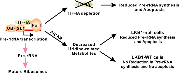 LKB1 promotes cell survival in uridine-depleted condition by maintaining pre-RNA synthesis TIF-IA-mediated pre-RNA synthesis is tightly regulated and genetic inactivation of TIF-IA is sufficient to promote apoptosis. AICAR treatment leads to the decrease of uridine-related metabolites. In LKB1-null cells, such decrease also results in the downregulation of pre-rRNA synthesis and cell death. Wild-type LKB1 is capable of maintaining pre-rRNA synthesis under these conditions to maintain cell survival.