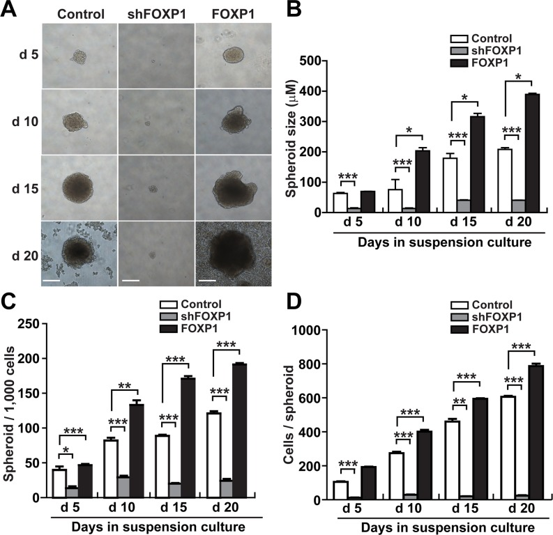 FOXP1 promotes the spheroid formation of A2780 ovarian cancer cells A. Bright field images of spheroids generated from A2780 ovarian cancer cells with or without FOXP1 knockdown (shFOXP1) or overexpression (FOXP1) are shown from day 5 to day 20 of spheroid culture (bar = 100 μm). B. The size of spheroids generated from A2780 ovarian cancer cells with or without FOXP1 knockdown or overexpression was measured from day 5 to day 20 of spheroid culture. C. The number of spheroids generated from 1000 cells of A2780 ovarian cancer cells with or without FOXP1 knockdown or overexpression is shown from day 5 to day 20 of spheroid culture. D. The number of cells per spheroid generated from A2780 ovarian cancer cells with or without FOXP1 knockdown or overexpression is shown from day 5 to day 20 of spheroid culture. Data are presented as mean ± SD. *, p