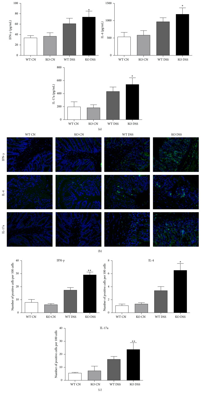 Deletion of TRAF5 increases the protein expressions of the cytokines IFN- γ , IL-4, and IL-17a in the colons of mice induced by DSS. (a) The production of IFN- γ , IL-4, and IL-17a in the colons of DSS-induced mice or control mice was examined by ELISA ( N = 6 per group). (b) Representative immunofluorescence staining for IFN- γ , IL-4, and IL-17a in the colons of TRAF5 KO and WT mice (magnification 400x). (c) Quantification of positive cells ( N = 4 per group). The data are representative of 3 independent experiments (mean ± SD). ∗ p