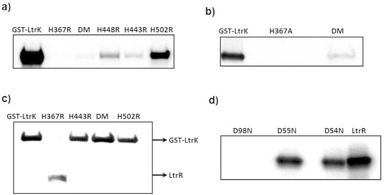 Effects of mutations on the phosphorylation activities of LtrK and LtrR. To assess the phosphorylation state of proteins, samples were electrophoresed on a SDS-polyacrylamide gel, and autoradiography performed by phosphorimaging (panels a–d ). ( a ) Autophosphorylation of LtrK mutant proteins. Proteins (7 μg) were incubated with [γ- 32 P]-ATP at room temperature for 30 min. Histidine residues were replaced with arginine, including the double mutant (DM) H443R/H448R. ( b ) Autophosphorylation of LtrK mutant proteins. Histidine residues were replaced with alanine, including the double mutant (DM) H443A/H448A. ( c ) Phosphatase activity of LtrK mutant proteins. LtrR-P was incubated with wild-type (lane 1) and mutant proteins H367R (lane 2), H443R (lane 3), H443R/H448R (lane 4), H502R (lane 5) for 30 min at room temperature. ( d ) Phosphotransfer from LtrK-P to LtrR mutant proteins. LtrR (80 μg) wild-type and mutant proteins were phosphorylated by GST-LtrK-P (20 μg) immobilized on a gravity flow column containing glutathione agarose beads as described for Fig. 2c .