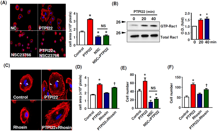 The effects of PTP1B inhibitor on EC motility were dependent on Rac1. ( A ) The effects of PTPI22 on cell spreading in the absence or presence of the Rac1 inhibitor NSC23766 (100 μM). ( B ) GTPase pull-down assay showing that PTPI22 treatment increased the amount of GTP-bound Rac1 in sub-confluent TIME cells. ( C , D ) Effects of the Rho inhibitor Rhosin (1 μM) on PTPI22-stimulated cell spreading response. The presence of stress fibres in untreated cells was indicated by white arrowheads; Rhosin decreased the abundance of intracellular stress fibres. ( E , F ) Effects of NSC23766 and Rhosin on PTPI22-stimulated EC migration assessed by the Boyden chamber assay. Data were mean ± S.E.M.; * P