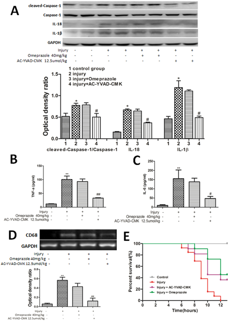 Inhibiting caspase-1 activity alleviated acute inflammatory responses and improved survival following cold-restraint stress injury. ( A ) The expression of cleaved caspase-1, IL-18, and IL-1β proteins was measured by western blotting. Protein levels were quantified by densitometry and are expressed as the optical density ratio to GAPDH (n = 6). ELISA results showed that mice pretreated with AC-YVAD-CMK had lower levels of TNF-α ( B ) and IL-6 ( C ) compared with those in the injury-alone group (n = 6). ( D ) CD68 mRNA levels in the gastric mucosa were measured by RT-PCR (n = 4). The mean survival times (range) of mice in the injury-alone, injury + omeprazole, and injury + AC-YVAD-CMK groups were 9.08 (8.20–9.95), 11.73 (10.78–12.67), and 10.82 (9.61–12.02), respectively. ( E ) The survival analysis showed that mice pretreated with omeprazole (P