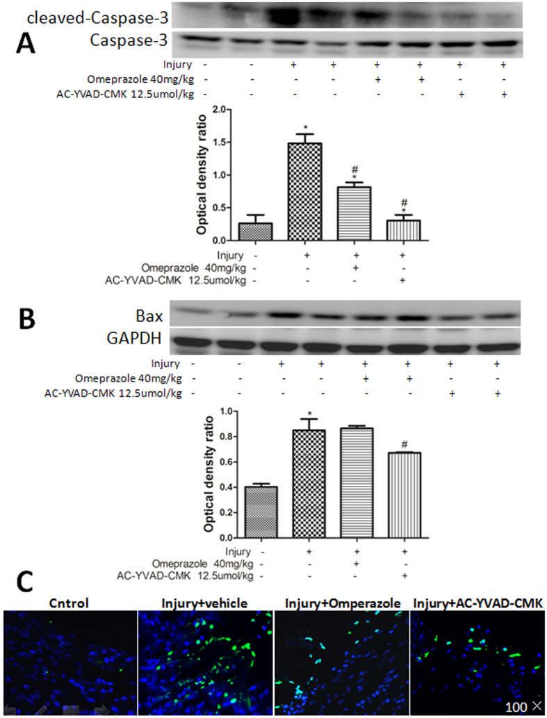 Inhibiting caspase-1 reduced cold-restraint stress-induced gastric cell apoptosis. The expression of cleaved caspase-3 and caspase-3 ( A ), and Bax ( B ) proteins was measured by western blotting. Protein levels were quantified by densitometry and are expressed as the optical density ratio to GAPDH. ( C ) Apoptotic cells were observed in the nucleus of the gastric mucosa by TUNEL staining (magnification, 100×). Data are expressed as means ± SD (n = 4). # P