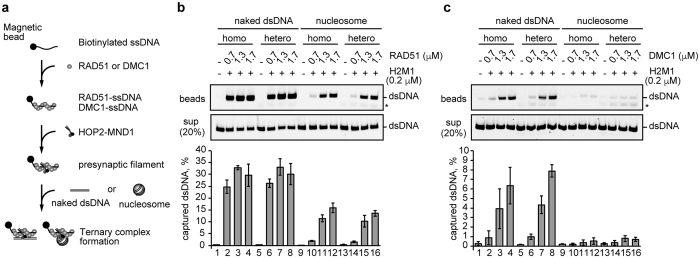 Ternary complex formation by the RAD51-ssDNA and DMC1-ssDNA complexes with a mono-nucleosome. ( a ) Scheme of the ternary complex formation assay. ( b, c ) RAD51 or DMC1 (0.7, 1.3, and 1.7μM) was incubated with ssDNA-conjugated magnetic beads (final 5μM in nucleotides). A heterologous poly dT 80-mer or a homologous ssDNA 80-mer was used as the ssDNA substrate. HOP2-MND1 (denoted as H2M1) was then added to the reaction mixtures. After a 5min incubation, naked dsDNA (lanes 1–8) or mono-nucleosomes (lanes 9–16) were added to each reaction mixture. The naked and nucleosomal dsDNA concentrations were 10μM in nucleotides. The naked or nucleosomal dsDNA captured by the RAD51-ssDNA or DMC1-ssDNA complex was treated with SDS and proteinase K, and the samples were subjected to non-denaturing polyacrylamide gel electrophoresis (top panel). The asterisk indicates poly dT 80-mer ssDNA. The naked and nucleosomal dsDNAs in the unbound fractions were also treated with SDS and proteinase K, and the samples (20%) were analyzed by non-denaturing polyacrylamide gel electrophoresis (middle panel). Bands were visualized by SYBR Gold staining. The reactions in lanes 1, 5, 9, and 13 were performed in the absence of RAD51 and DMC1. The average values of three independent experiments are shown in the bottom panel, with the SD values. Panels ( b , c ) represent experiments with RAD51 and DMC1, respectively.