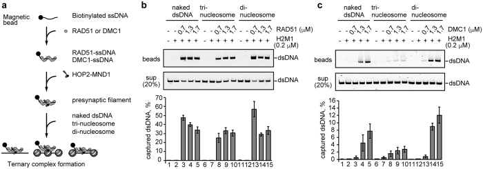 Ternary complex formation by the RAD51-ssDNA and DMC1-ssDNA complexes with nucleosome arrays. ( a ) Scheme of the ternary complex formation assay with the nucleosome arrays. ( b,c ) RAD51 or DMC1 (0.7, 1.3, and 1.7μM) was incubated with the ssDNA (poly dT 80-mer)-conjugated magnetic beads in the presence of HOP2-MND1 (denoted as H2M1). After a 5min incubation, naked dsDNA (lanes 1–5), tri-nucleosomes (lanes 6–10), or di-nucleosomes (lanes 11–15) were added to each reaction mixture. The naked and nucleosomal dsDNA concentrations were 10μM in nucleotides. The naked or nucleosomal dsDNA captured by the RAD51-ssDNA or DMC1-ssDNA complex was treated with SDS and proteinase K, and the samples were subjected to non-denaturing polyacrylamide gel electrophoresis (top panel). The naked and nucleosomal dsDNAs in the unbound fractions were also treated with SDS and proteinase K, and the samples (20%) were analyzed by non-denaturing polyacrylamide gel electrophoresis (middle panel). Bands were visualized by SYBR Gold staining. The reactions in lanes 1, 6, and 11 were performed in the absence of RAD51 and DMC1. The average values of three independent experiments are shown in the bottom panel, with the SD values. Panels ( b , c ) represent experiments with RAD51 and DMC1, respectively.