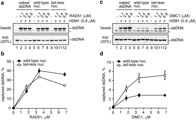 Ternary complex formation by the RAD51-ssDNA and DMC1-ssDNA complexes with the nucleosome lacking the N-terminal histone tails. ( a ) RAD51 (1.7, 3.4, and 6.8μM) was incubated with the ssDNA-conjugated magnetic beads (final 20μM in nucleotides). A heterologous poly dT 80-mer was used as the ssDNA substrate. HOP2-MND1 (denoted as H2M1) was then added to the reaction mixtures. After a 5min incubation, naked dsDNA (lanes 1–4), wild-type mono-nucleosomes (lanes 5–8), or all tailless mono-nucleosomes (lanes 9–12) were added to each reaction mixture. The naked and nucleosomal dsDNA concentrations were 10μM in nucleotides. The naked or nucleosomal dsDNA captured by the RAD51-ssDNA or DMC1-ssDNA complex was treated with SDS and proteinase K, and the samples were subjected to non-denaturing polyacrylamide gel electrophoresis (top panel). The asterisk indicates poly dT 80-mer ssDNA. The naked and nucleosomal dsDNAs in the unbound fractions were also treated with SDS and proteinase K, and the samples (20%) were analyzed by non-denaturing polyacrylamide gel electrophoresis (middle panel). Bands were visualized by SYBR Gold staining. The reactions in lanes 1, 5, and 9 were performed in the absence of RAD51 and DMC1. ( b ) Graphic representation of the experiments shown in panel ( a ). The amounts of the ternary complex formation are plotted against the RAD51 concentration. The average values of three independent experiments are shown with the SD values. ( c ) DMC1 (1.7, 3.4, and 6.8μM) was incubated with the ssDNA-conjugated magnetic beads (final 20μM in nucleotides). The experiments were performed by the same procedure as in panel ( a ). ( d ) Graphic representation of the experiments shown in panel ( c ). The amounts of the ternary complex formation are plotted against the DMC1 concentration. The average values of three independent experiments are shown with the SD values.