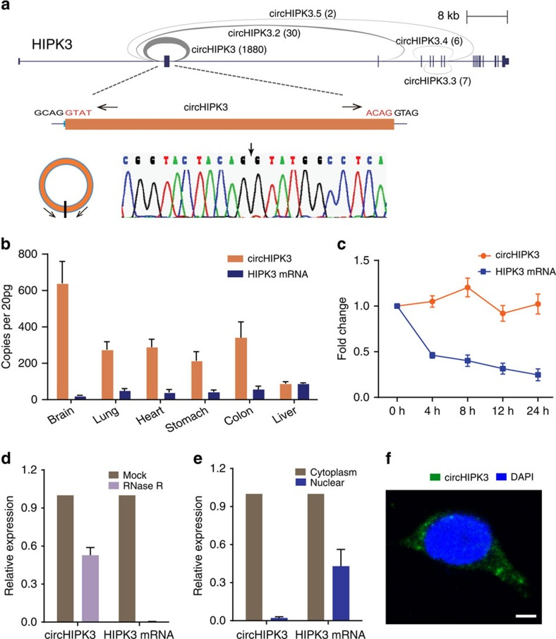 Characterization of circHIPK3 RNA in human cells. ( a ) The genomic loci of five circRNAs in HIPK3 gene. The supported unique reads were presented. The expression of circHIPK3 was validated by RT–PCR followed by sanger sequencing. Arrows represent divergent primers binding to the genome region of circHIPK3. ( b ) Absolute quantification for circHIPK3 and HIPK3 mRNA in six human normal tissues. ( c ) qRT–PCR for the abundance of circHIPK3 and HIPK3 mRNA in HeLa cells treated with Actinomycin D at the indicated time points. ( d ) qRT–PCR for the abundance of circHIPK3 and HIPK3 mRNA in HeLa cells treated with RNase R. The amount of circHIPK3 and HIPK3 mRNA were normalized to the value measured in the mock treatment. ( e ) qRT–PCR data indicating the abundance of circHIPK3 and HIPK3 mRNA in either the cytoplasm or nucleus of HeLa cells. The amounts of circHIPK3 and HIPK3 mRNA were normalized to the value measured in the cytoplasm. Data in ( c – e ) are the means±s.e.m. of three experiments. ( f ) RNA fluorescence in situ hybridization for circHIPK3. Nuclei were stained with 4,6-diamidino-2-phenylindole (DAPI). Scale bar, 5 μm.