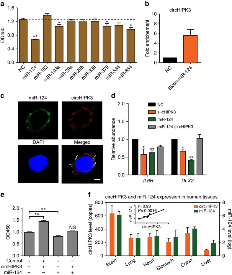 circHIPK3 sponges with miR-124 and inhibits its activity. ( a ) Proliferation assessed using a CCK-8 kit in HEK-293 T cells transfected with nine miRNA mimics or control RNA (20 nM). ( b ) qRT–PCR analysis of circHIPK3 level in the streptavidin captured fractions from the HEK-293 T cell lysates after transfection with 3′-end biotinylated miR-124 or control RNA (NC). ( c ) Co-localization between miR-124 and circHIPK3 was observed (arrowheads) by RNA in situ hybridization in HeLa cells after co-transfection with circHIPK3 and miR-124 expressing vectors. Nuclei were stained with DAPI. Scale bar, 5μm. ( d ) qRT–PCR analysis of IL6R and DLX2 expression in HEK-293 T cells after transfected with si-cHIPK3, miR-124 mimics or miR-124 with circHIPK3 expressing vector (p-cHIPK3). ( e ) Proliferation assessed using a CCK-8 kit in cells transfected with circHIPK3 or miR-124 (10 nM) as indicated. Data in a , b , d are the means±s.e.m. of three experiments. ( f ) qRT–PCR for the abundance of circHIPK3 relative to ACTB and miR-124 relative RNU6B in six human normal tissues. The correlation between circHIPK3 and miR-124 is also shown. * P