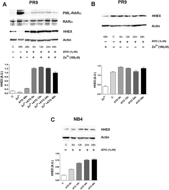 Effect of ATO on downmodulation of HHEX expression elicited by PML-RARα induction in PR9 cells ( top and middle panels ) and on HHEX expression observed in NB4 cells ( bottom panel ). Top panels ( a , b ): PR9 cells have been grown either in the absence ( c ) or in the presence of ZnSO 4 for 48 h ( left and right panels ), in the presence of ATO for different times (from 6 to 48 h, right panel ), or in the presence of ZnSO 4 + ATO for different time points (from 6 to 48 h, left panel ) and HHEX, PML-RARα, or RARα expression were assessed by WB. A representative WB is shown at the top of each panel and the quantitative evaluation (mean ± SEM in three separate experiments). Bottom panel ( c ): NB4 cells have been grown either in the absence ( c ) or in the presence of ATO for different times (from 6 to 48 h) and HHEX expression was analyzed by WB