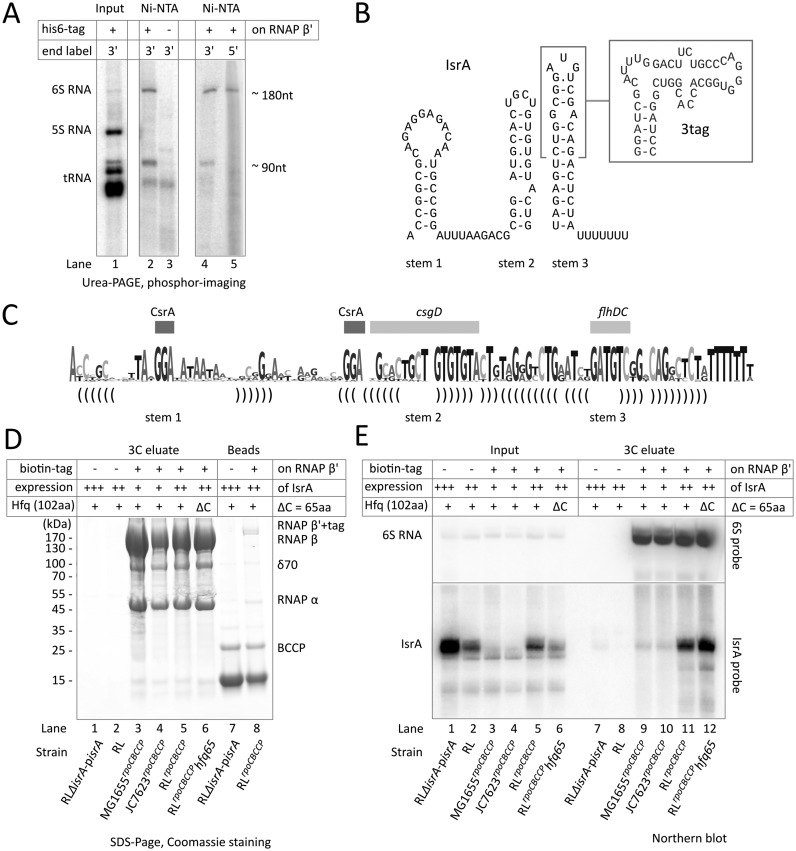 A small non-coding RNA, IsrA, co-purifies with RNA polymerase. ( A ) Pull-down of RNAs with 6xHis-tagged (strain RL rpoC HIS ) or tag-less RNAP on Ni 2+ -NTA sepharose. Isolated RNAs were 5′- or 3′ end labeled and analyzed as described in the Materials and Methods. ( B ) Secondary structure model of the purified RNA, identified as IsrA (( 23 ); a.k.a. IS61 ( 20 ) or McaS ( 21 , 22 )) which was based on phylogenetic analysis (see Supplementary Figure S2). An extension that substitutes the outer portion of stem 3 and provides affinity to streptomycin (streptotag ( 32 ); see Figure 2 ) is boxed. ( C ) Summary of IsrA structure in sequence logo representation; height of nucleotides mark the degree of conservation. Base pairs that form stems are indicated by brackets; rectangles indicate regions implicated in protein binding (CsrA), or translational regulation of flhDC , or csgD mRNAs ( 21 , 22 , 43 ). ( D ) Purification of RNAP on streptavidin sepharose through a biotinylated tag at the β' subunit that can be cleaved off using HRV3C (3C) protease. RNAPs were isolated from strains; lane 1: RLΔ isrA -p isrA (tag-less RNAP, IsrA under mutant promoter on multi-copy plasmid); lane 2: RL (tag-less RNAP, genomic IsrA under mutant promoter); lane 3: MG1655 rpoC BCCP (BCCP-tagged RNAP, genomic IsrA under wild-type promoter); lane 4: JC7623 rpoC BCCP (BCCP-tagged RNAP, genomic IsrA under wild-type promoter); lane 5: RL rpoC BCCP (BCCP-tagged RNAP, genomic IsrA under mutant promoter); lane 6: RL rpoC BCCP hfq65 (BCCP-tagged RNAP, genomic IsrA under mutant promoter, Hfq lacks C-terminus) (see also Supplementary Table). Relative expression levels of IsrA are shown above the gels (expressed from wild-type promoter in chromosomal locus (+), expressed from a mutant promoter in the chromosomal locus (++) or from mutant promoter from a high-copy plasmid (+++)). RNAPs were released by HRV3C (3C) cleavage and analyzed by SDS/PAGE on a 4–20% gradient gel. Strains that have RNAP without a biotinylated tag were used as a control. Lanes 7 and 8 are controls for non-specific binding to and efficiency of release from beads of RNAP in lanes 1 and 5, respectively. ( E ) Northern blot analysis of RNAs that co-purified with biotinylated RNAP in panel (D). The blots were probed against IsrA (bottom) or 6S RNA (top). Indicated are the presence of the biotinylated affinity tag on RNAP β' (+ or – tag), the expression levels of IsrA in the input extract (as in panel (D)), and whether Hfq in the cells was truncated to its core of 65 amino acids (ΔC) or was wild type (+).