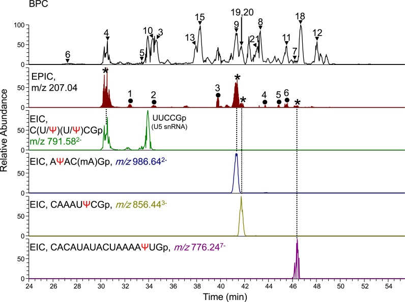 Identification of four Ψ-containing fragments in human U6 snRNA. The RNase T1 digest of human U6 snRNA (100 fmol) was analyzed by LC-MS and MS 2 . The base peak chromatogram (BPC) of MS, EPIC of MS 2 and four EICs of MS are shown. The major peaks in the BPC, indicated by the arrow or arrowheads with peak numbers, were assigned to the fragments of U6 snRNA (see Supplementary Table S1). The peaks in the EPIC indicated by asterisks were assigned to the Ψ-containing fragments of U6 snRNA by Ariadne, whereas the peaks with numbered closed circles indicate fragments from contaminating RNAs in our U6 snRNA preparation and the U6 snRNA fragment with the 2′,3′-cyclic-phosphate terminus assigned as follows: 1, CΨUCG > p (U6 snRNA); 2, TΨCGp (tRNA); 3, AUΨUCCGp (U5 snRNA); 4, A(Cm)UAAAGp (U5 snRNA); 5, CAUAAAUCUUUC(Gm)CCUUU(Um)A(Cm)ΨAAAGp (U5 snRNA); 6, UAUAAAUCUUUC(Gm)CCUUU(Um)A(Cm)ΨAAAGp (U5 snRNA). The oligoribonucleotide with a sequence UUCCGp detected in the EIC with m/z 791.58 was derived from U5 snRNA contaminated in our U6 snRNA preparation. Note that contaminated RNA fragments can easily be distinguished those derived from a sample RNA by comparing the identified sequence with its genomic sequence using Ariadne. The peaks of the Ψ-containing fragments of U6 snRNA reappear in the EIC. The sequence of each RNase T1 fragment and its m/z value (±15 ppm mass tolerance) for extraction are indicated on each EIC. Corresponding peaks on the EPIC and EIC are linked with dotted lines.