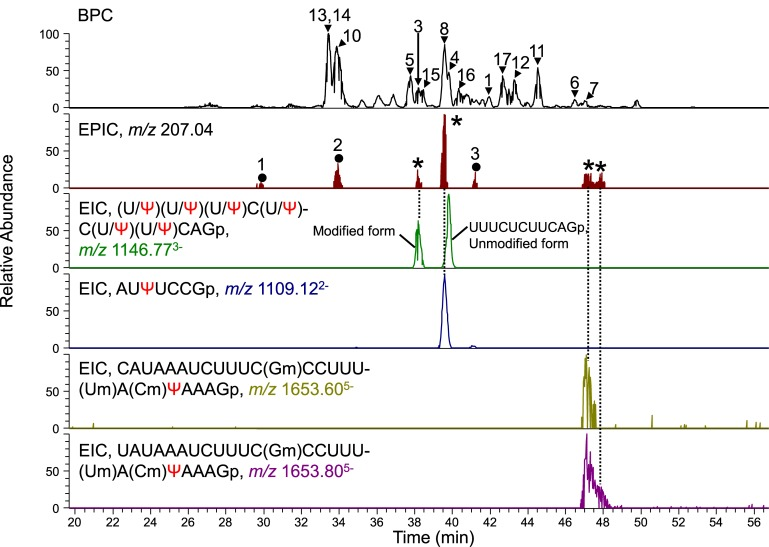 Identification of four Ψ-containing fragments in human U5 snRNA. The RNase T1 digest of human U5 snRNA (100 fmol mixture of U5A and U5B) was analyzed by LC-MS and MS 2 . The BPC of MS, EPIC of MS 2 and four EICs of MS are shown. The major peaks in the BPC, indicated by the arrow or arrowheads with peak numbers, were assigned to the fragments of U5A or U5B snRNA (see Supplementary Table S1). The major peaks in EPIC indicated by asterisks were assigned to the Ψ-containing fragments of U5A/U5B snRNA. The peaks with numbered closed circles in the EPIC were fragments of contaminating RNA in our U5A/B preparation assigned as follows: 1, CΨUCGp (U6 snRNA); 2, TΨCGp (tRNA); 3, ΨAC(mA)Gp (U6 snRNA). The peaks of Ψ-containing fragments of U5A or U5B snRNA reappear in the EIC. The sequence of each RNase T1 fragment and its m/z value (±15 ppm mass tolerance) are indicated. Corresponding peaks on EPIC and EIC are linked with dotted lines.