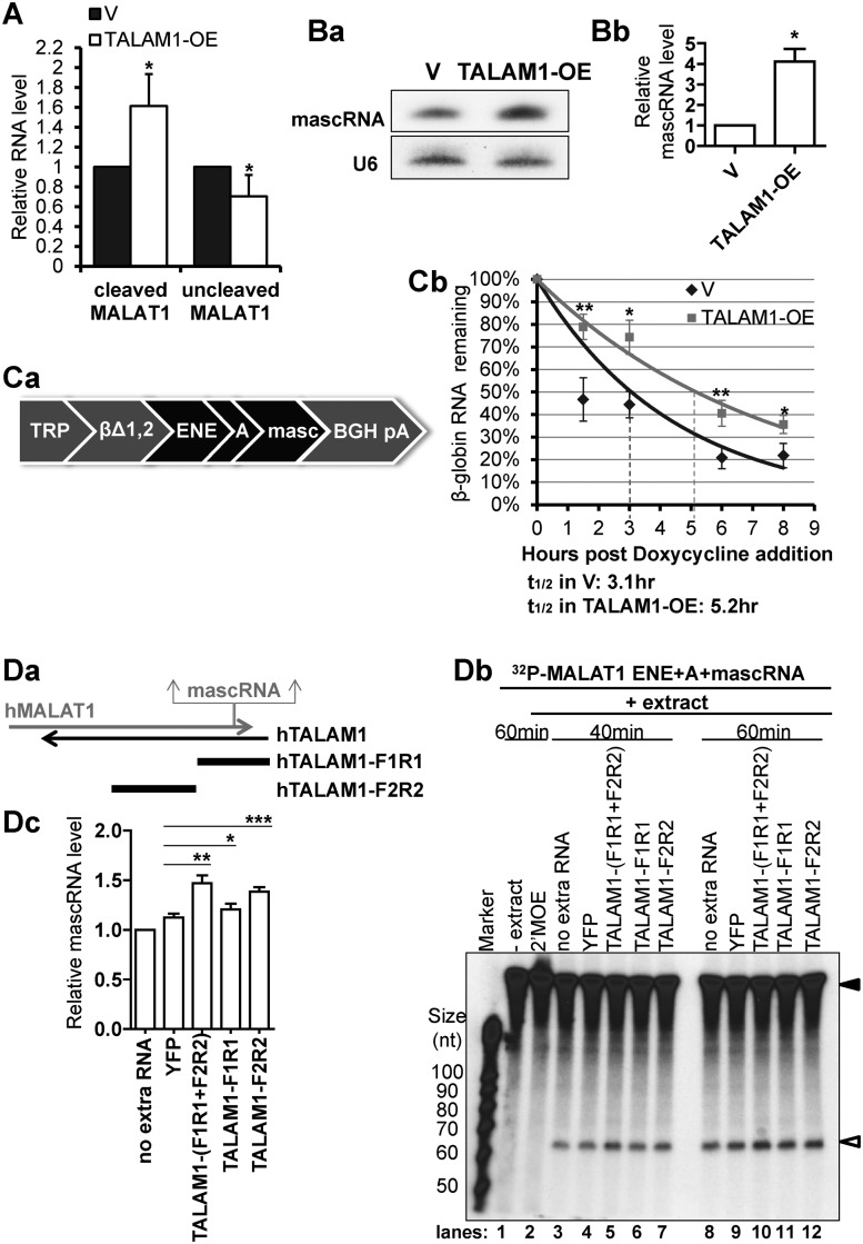 TALAM1 promotes the 3′ end processing of MALAT1 <t>RNA.</t> ( A ) Cutoff assay of cleaved and uncleaved MALAT1 in HeLa cells transfected with empty vector (V) or with TALAM1-overexpression construct (TALAM1-OE). ( B ) Analyses of mascRNA levels in V or TALAM1-OE samples by (Ba) northern blot, and (Bb) <t>Taqman</t> small RNA assay. ( C ) In vivo RNA decay assay. (Ca) Schematic representation of the βΔ1,2 construct. (Cb) Stability of the intronless β-globin transcript in U2OS Tet-off cells transfected with empty vector (V) or with TALAM1-overexpression construct (TALAM1-OE). Trendlines are single-exponential regression of the percentage of RNA remaining versus time. Dotted lines represent the half-life of reporter RNA. ( D ) In vitro processing assay of MALAT1 3′ end sequence. Internally 32 P-labeled MALAT1 ENE+A+mascRNA RNA substrate (filled arrow in Db) was incubated with HeLa total cell extract in absence or presence of in vitro transcribed YFP, TALAM1-F1R1, F2R2 RNA or 2′MOE targeting the mascRNA site, and its processing to mascRNA (open arrow in Db) is monitored at 40 min and 60 min time points. (Da) Schematic diagrams shown for the relative positions of the TALAM1-F1R1 and TALAM1-F2R2 fragments generated by in vitro transcription. (Db) A representative autoadiogram is shown. (Dc) The quantification of the mascRNA product levels measured from independent experiments, with ImageJ software. At 40 min time point, levels of mascRNA produced under different conditions were normalized to the condition with no extra RNA, which was set as one. Bar data in (A) and (Bb) are mean values with SD, N A = 4, N Bb = 3; Data in (Cb) and (Dc) are mean values with SEM, N Cb = 4, N Dc = 6 (biological replicates, * P