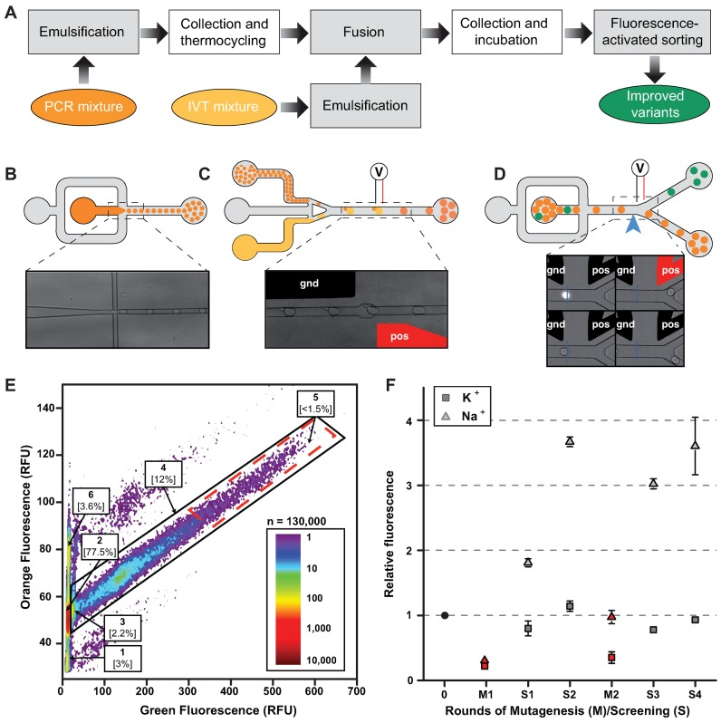 Microfluidic-assisted screening. ( A ) Experimental workflow. Steps performed on-chip (gray boxes) were distinguished from those performed off-chip (white boxes). ( B ) PCR droplets production. Aqueous phase supplemented with a high concentration of a orange fluorescent dye was injected into droplet generator device and 2.5 pl droplets were generated by focusing aqueous (dark orange) and oil (gray) flows. Emulsions were collected and thermocycled. ( C ) Droplets fusion. Small PCR droplets were reinjected into droplet-fusion device and spaced by a stream of oil. 16 pl droplets containing In Vitro Transcription (IVT, light orange) mixture supplemented with DFHBI were concomitantly produced and synchronized with PCR droplets. Pairs of droplets were then fused when passing in between a ground-connected electrode (gnd, in black) and an electrode to which tension (pos, in red) was applied. ( D ) Droplets sorting. After incubation, emulsions were reinjected into a Fluorescence Activated Droplet Sorting device and the fluorescence of each droplet read at a detection point (blue arrow and blue line on the micrograph). Based on the fluorescence signal, droplets of interest (green) were deflected into sort channel by applying tension to one of the electrode (pos, in red) whereas non-fluorescent droplets (orange) flowed into the waste channel. ( E ) Typical fluorescence profile of screened emulsion. The analysis of DFHBI green fluorescence and Texas-Red orange fluorescence allowed identifying the different populations composing the emulsion. Indeed, using orange fluorescence signal, IVT droplets fused to single PCR droplets (populations 2–5) were easily discriminated from unfused (population 1) and double fused (population 6) IVT droplets. Green fluorescence resulting from EvaGreen intercalation allowed discriminating droplets containing amplified DNA (population 4) from droplet resulting from fusion with an initially empty PCR droplet (population 2). Finally, the stronger DFHB