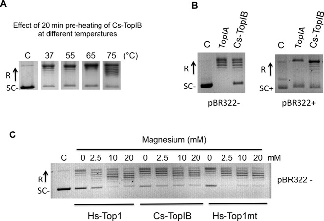 Cs-TopIB thermoresistance, relaxation of both positively and negatively supercoiled DNA and activity in the absence of magnesium. ( A ) Cs-TopIB was pre-heated at the indicated temperatures for 20 min, then assayed for pBR322 relaxation for 20 min at 65°C using 200 ng of pBR322 and 130 nM of Cs-TopIB protein. ( B ) Assays on negatively and positively supercoiled DNA: negatively (SC−) and positively (SC+) supercoiled pBR322 were assayed for relaxation with Escherichia coli TopIA and Cs-TopIB enzymes at 30°C for 30 min in their respective reaction buffers (see panel C and Supplementary Figure S4 for time-course experiments). ( C ) Assays were carried out for 30 min at 30°C with 0.8 nM of Hs-Top1, 2 nM of Cs-TopIB and 6.8 nM of Hs-Top1mt and 200 ng of pBR322 as a negatively supercoiled substrate. Mg 2+ was added at the indicated final concentrations. 'C': reaction without enzyme. In all panels, SC−: negatively supercoiled DNA; SC+: positively supercoiled DNA; R: relaxed DNA.