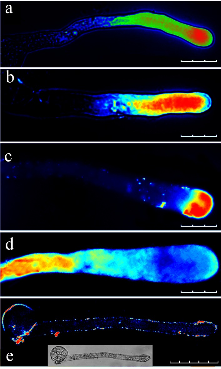 Effect of different concentrations of La 3+ on the calcium gradient in the pollen tube apical regions. (a) Pollen tube loaded with fluo-4/AM without La 3+ (control). Pollen tubes after loading with fluo-4/AM followed by the addition of 10 μM La 3+ (b), 100 μM La 3+ (c), and 1 mM La 3+ (d). (e) Pollen tube after loading with fluo-4/AM in the presence of 1 mM La 3+ . Scale bars: 100 μm (a), 90 μm (b and c), 60 μm (d) and 70 μm (e).