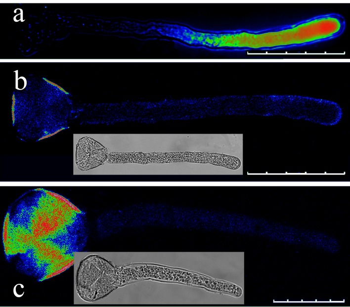 Effect of EGTA on the Ca 2+ gradient in the pollen tube apical regions. (a) Pollen tube loaded with fluo-4/AM without EGTA (control). (b) Pollen tube after addition of 1 mM EGTA following fluo-4/AM loading. (c) Pollen tube after addition of 1 mM EGTA during fluo-4/AM loading. Scale bars: 100 μm (a), 60 μm (b) and 30 μm (c).