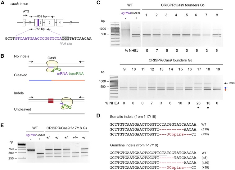 Heritable CRISPR/Cas9-mediated targeted mutagenesis of monarch butterfly clock . (A) Schematic of part of the monarch clock genomic locus containing the CRISPR/Cas9 target site. The purple region in exon 2 is expanded to provide the sequence targeted for genome editing by a single guide RNA (sgRNA, purple letters). The protospacer adjacent motif (PAM site, 5′-NGG-3′) 3′ of the target sequence is highlighted in gray. Arrows on top and bottom represent the positions of the primers used to amplify the 839 bp ( clock F2, clock R1; Table S1 ) and 756 bp ( clock F2, clock R2; Table S1 ) targeted regions for analysis of mutagenic lesions in C and E, respectively. (B) Diagram of the in vitro cleavage assay used to detect mutagenic lesions showing a PCR amplicon subjected to the sgRNA and the Cas9 protein. Blue and red lines correspond to a wild-type (WT) genomic fragment cleaved by Cas9. Fragments with mutations induced by NHEJ at the site targeted by the sgRNA (red boxes) are uncleaved (black line). (C) Detection of mutagenic lesions at the clock locus in somatic cells of founder G 0 butterflies. For each founder, a PCR fragment was subjected to a Cas9-based in vitro cleavage assay. Blue and red arrows, WT fragments. Black arrow, amplicons carrying mutations (mut) at the site targeted by the sgRNA. Estimation of the frequency of NHEJ-mediated indels is provided under each founder. Black stars, founders selected for crosses to determine germline targeting rates. (D) CRISPR/Cas9-induced mutations in somatic and germline cells of founders 17 and 18. The sgRNA binding site is underlined on the wild-type sequence. Red dashes and red letters, deletion and insertions, respectively. (E) Genotyping of G 1 butterflies from founders 17 and 18 backcrossed to WT using the Cas9 in vitro cleavage assay. Heterozygote butterflies carrying the mutated allele are robustly discriminated by the presence of an additional uncleaved PCR fragment. CRISPR, clustered regularly interspaced short pali