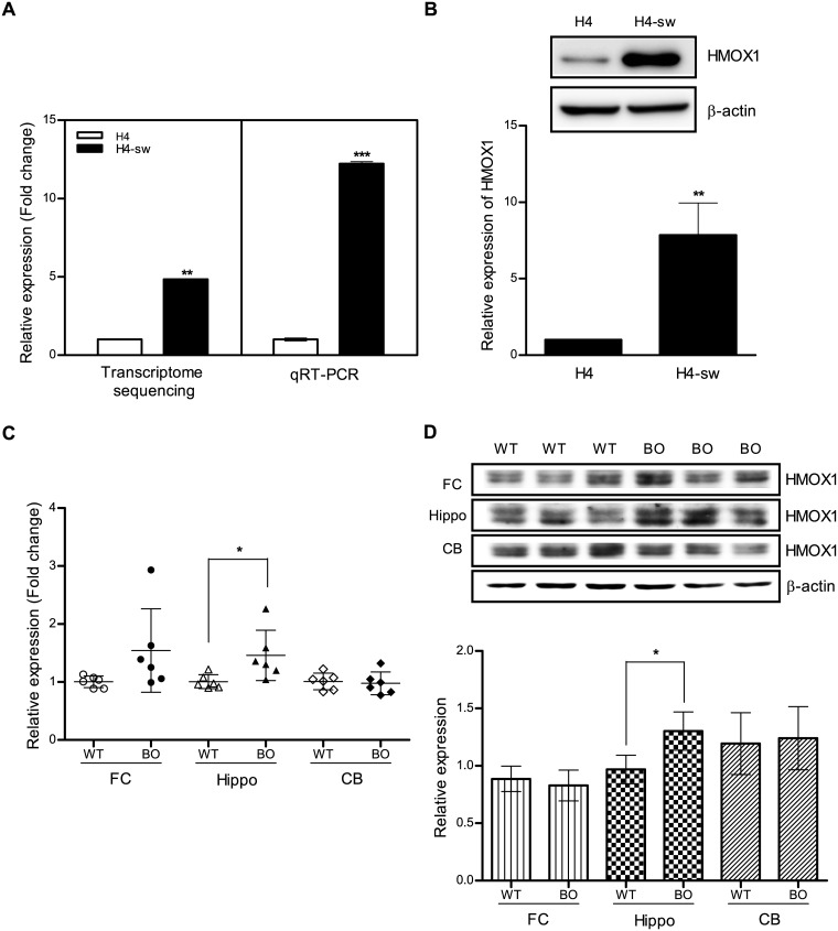 HMOX1 expression is up-regulated in an APP-mutant cell line and transgenic mice. (A) HMOX1 mRNA expression in H4 and H4-sw cells was measured by transcriptome sequencing analyses and qRT-PCR. (B) Expression of HMOX1 protein in H4 and H4-sw cells was assessed using western blot analyses. Level of HMOX1 protein in H4-sw cells was expressed relative to that in H4 cells. (C) HMOX1 mRNA expression in the brain of 12-month-old wild-type and PSEN1-APP transgenic mice (B6C3-Tg(APP695)85Dbo Tg(PSEN1)85Dbo) was measured by qRT-PCR. (D) HMOX1 protein expression in the brain of 12-month-old wild-type and PSEN1-APP transgenic mice assessed using western blot analyses. Data are shown as mean ± SD. Statistical analyses were performed using t -tests (* p