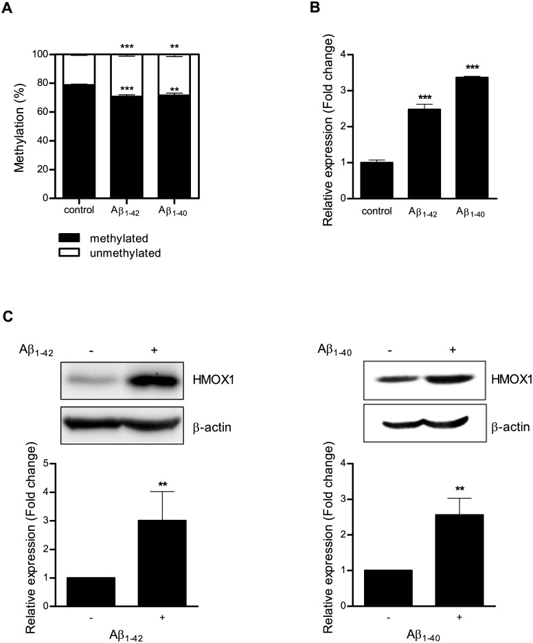 DNA methylation is altered in H4 cells treated with Aβ 1–42 or Aβ 1–40. (A) H4 cells were treated with 1 μM Aβ 1–42 or Aβ 1–40 for 5 days, and DNA methylation at the –374 CpG site was analyzed using qMSP. (B) After treatment with Aβ 1–42 or Aβ 1–40, HMOX1 expression was assessed using qPCR. (C) Protein levels of HMOX1 were determined by western blot analyses. Values shown are relative to untreated controls. Data are shown as mean ± SD (n = 3). Statistical analyses were performed using t -tests (** p