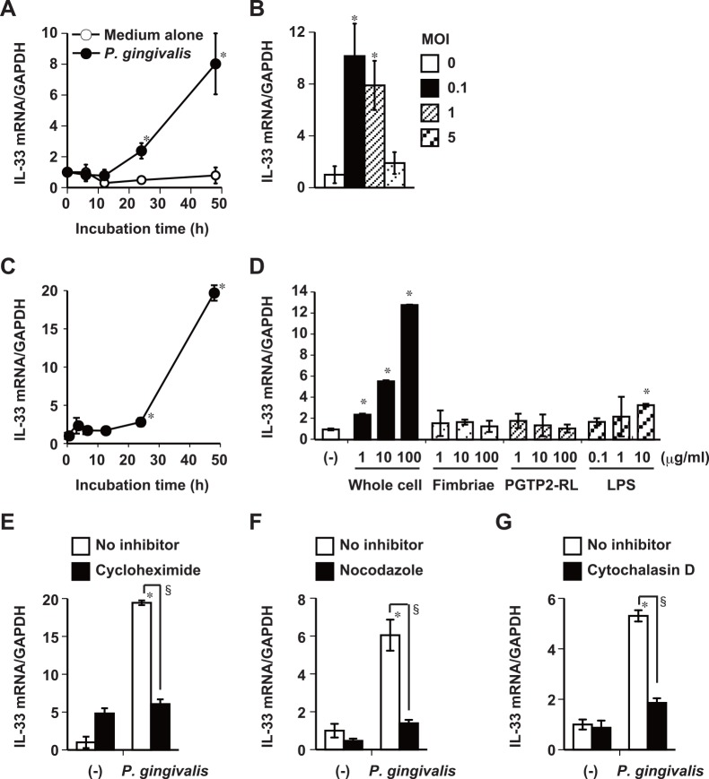 P . gingivalis increases IL-33 mRNA expression in gingival epithelial cells. Ca9-22 cells were infected with fresh P . gingivalis W83 cultures at MOI of 0.5 for the indicated periods (A) or indicated MOI for 48 h (B). Ca9-22 cells were stimulated with 50 μg/ml (MOI of 0.1) of whole P . gingivalis W83 cells for the indicated periods (C) and indicated amounts of whole P . gingivalis W83 cells, fimbriae, PGTP2-RL, and LPS derived from P . gingivalis for 48 h (D). Cells were incubated with 10 μg/ml cycloheximide for 45 min (E), 1 μg/ml nocodazole for 1 h (F) or 0.5 μM cytochalasin D for 30 min (G) and then stimulated for 48 h with 50 μg/ml of P . gingivalis W83 whole cells with the respective inhibitors. Total cellular RNA was then extracted at the indicated times, and IL-33 transcripts were analyzed by RT-qPCR. Data are representative of three independent experiments, and are shown as means ± SD of triplicate assays. Statistically significant differences are indicated. *, P