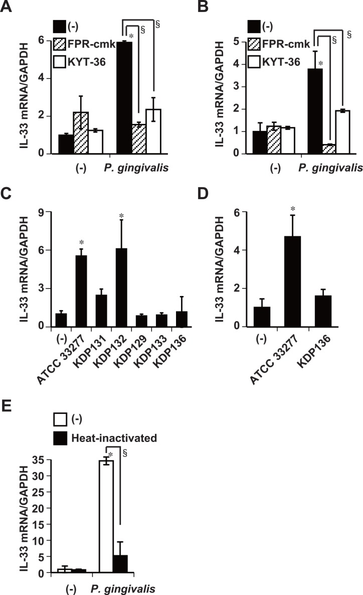 Participation of gingipains in P . gingivalis -induced IL-33 mRNA expression in gingival/oral epithelial cells. Whole P . gingivalis W83 cells (50 μg/ml) were incubated with 0.3 μM FPR-cmk (Rgp inhibitor) or 0.3 μM KYT-36 (Kgp inhibitor) for 15 min at 37°C and then used to stimulate Ca9-22 (A) or primary oral epithelial (B) cells for 48 h. (C) Ca9-22 cells stimulated with 50 μg/ml of whole cells of P . gingivalis ATCC 33277 wild-type, P . gingivalis KDP131 (Δ rgpA ), KDP132 (Δ rgpB ), KDP129 (Δ kgp ), KDP133 (Δ rgpA Δ rgpB ), or KDP136 (Δ kgp Δ rgpA Δ rgpB ) gingipain-null mutant for 48 h. (D) Primary oral epithelial cells stimulated with 50 μg/ml of P . gingivalis ATCC 33277 wild-type or KDP136 for 48 h. (E) Ca9-22 cells cultured for 48 h with 50 μg/ml of whole P . gingivalis W83 cells after incubation with or without at 70°C for 1 h. Total cellular RNA was extracted and transcripts were analyzed by RT-qPCR. Data are representative of three independent experiments, and are shown as means ± SD of triplicate assays. Statistical significant differences are indicated (*, P