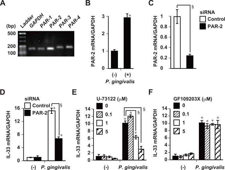 P . gingivalis -induced IL-33 mRNA expression requires activation of PAR-2 and PLC. (A) Expression of PAR-1 , -2 , -3 , and -4 mRNA by Ca9-22 cells analyzed by RT-PCR. Data are representative of two independent experiments. Fragments are 156 bp ( GAPDH ), 150 bp ( PAR-1 ), 153 bp ( PAR-2 ), 170 bp ( PAR-3 ), and 177 bp ( PAR-4 ), respectively. Ca9-22 cells were transfected with 100 pmol of PAR-2 siRNA or control siRNA for 14 h (C and D), and stimulated with 50 μg/ml of whole P . gingivalis W83 cells for 48 h (B and D). Ca9-22 cells were incubated with indicated concentrations of U-73122 (PLC inhibitor) (E) or GF109203X (PKC inhibitor) (F) for 30 min, and then stimulated with 50 μg/ml of whole P . gingivalis W83 cells for 48 h. Expression of PAR-2 mRNA (B and C) and IL-33 mRNA (D, E, and F) was analyzed using RT-qPCR. Data are representative of three independent experiments, and are shown as means ± SD of triplicate assays. Statistical significant differences are indicated (*, P
