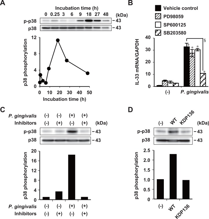 Induction of IL-33 mRNA expression by P . gingivalis requires activation of the p38 pathway. (A) Ca9-22 cells stimulated for indicated periods with 50 μg/ml of whole P . gingivalis W83 cells in medium containing 1% FBS. Phosphorylation of p38 was detected in cell lysates by Western blotting against anti-phospho-p38 antibody (p-p38). Controls comprised antibody against total p38. Data are representative of three independent experiments. Relative expression of phosphorylated p38 was quantified using densitometry. Relative expression of phosphorylated p38 was normalized to that of p38. (B) Ca9-22 cells incubated with 10 μM PD98059, SP600125, or SB203580 for 30 min and then stimulated with 50 μg/ml of whole P . gingivalis W83 cells for 48 h in medium containing 5% FBS. Total cellular RNA was extracted and transcripts were analyzed by RT-qPCR. Data are representative of three independent experiments, and are shown as means ± SD of triplicate assays. Statistical significant differences are indicated (*, P