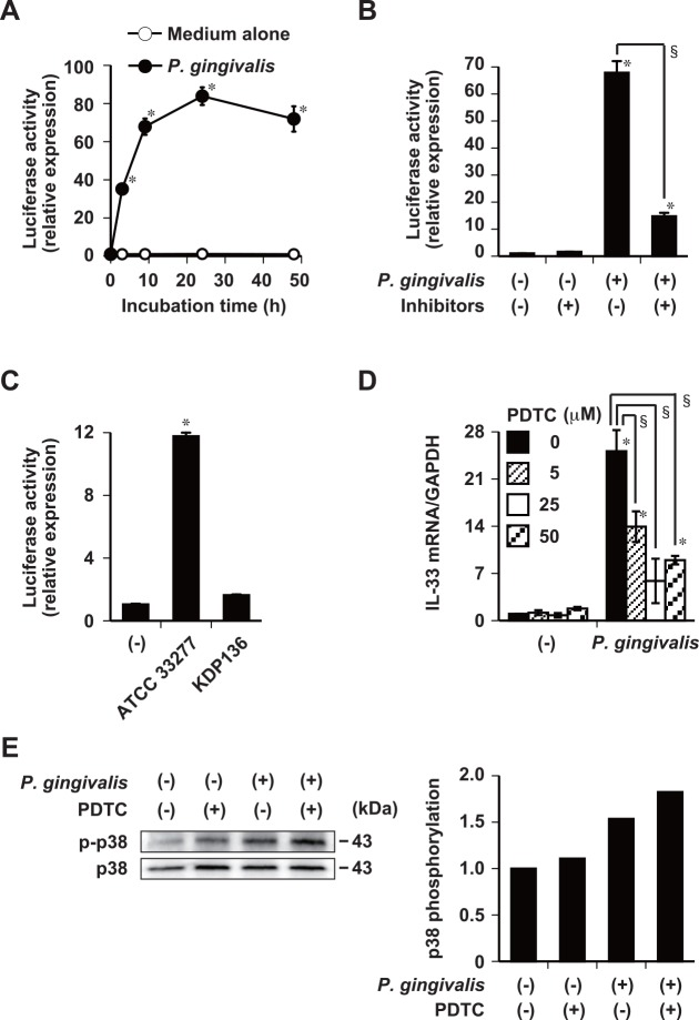 Induction of IL-33 mRNA expression by P . gingivalis requires activation of the NF-κB pathway. (A) Ca9-22 cells stimulated with 50 μg/ml of whole P . gingivalis W83 cells for indicated periods. (B) Whole P . gingivalis W83 cells (50 μg/ml) were incubated with gingipain inhibitors (0.3 μM FPR-cmk plus 0.3 μM KYT-36) for 15 min at 37°C, and then used to stimulate Ca9-22 cells for 9 h. (C) Ca9-22 cells stimulated with 50 μg/ml of whole P . gingivalis ATCC 33277 wild-type or KDP136 cells for 9 h. (A-C) Cells were transiently transfected with pNFκB- Metridia luciferase reporter or control p Metridia luciferase reporter plasmids. Amount of secreted luciferase in culture supernatants were analyzed using a luminometer. (D) Ca9-22 cells incubated with indicated concentrations of PDTC (NF-κB inhibitor) for 1 h and then stimulated with 50 μg/ml of whole P . gingivalis W83 cells for 48 h. Total cellular RNA was extracted and transcripts were analyzed by RT-qPCR. Data are representative of three independent experiments and are shown as means ± SD of triplicate assays. Statistical significant differences are indicated (*, P